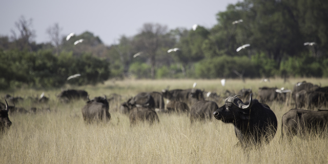 Buffalo Herd Grazing in the Kruger Park