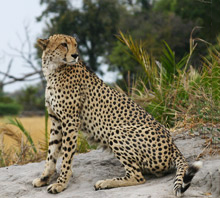 Cheetah Conservation - Luxury Southern African Safaris