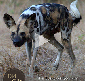 African Wild Dogs - Luxury Southern African Safaris