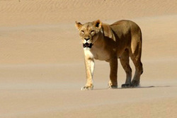 Lion Pride Farewell at the Skeleton Coast - Southern African Conservation