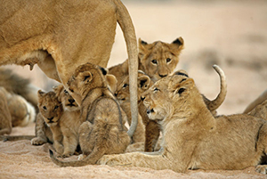 """The Last Lions"" - Botswana Conservation"