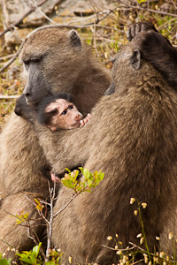 Chacma Baboons - Luxury Southern African Safaris