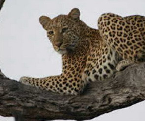'Lions & Leopards' - Southern African Wildlife Conservation