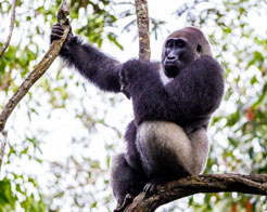 Luxury Congo Safaris - Gorilla Tracking at Ngaga Camp
