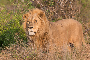 Lion Photography in Southern Africa - Renting a Quality Lens