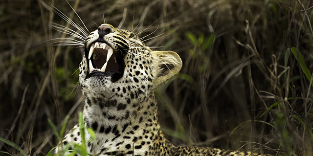 Leopard on the Plains - Best Time to Travel | Luxury African Safari Tours | Classic Africa