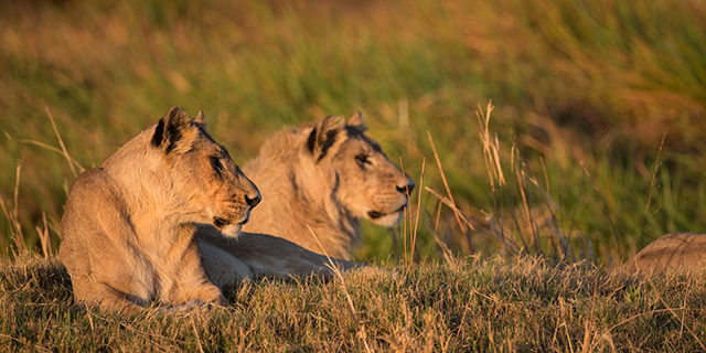 Lion pride in the Chobe Linyanti - Predator Hierarchy | Southern African Safaris | Classic Africa