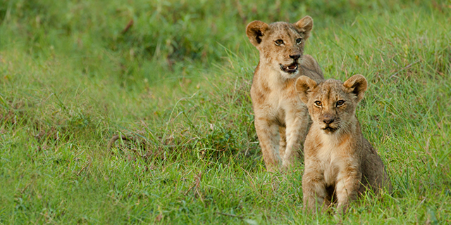 Lion Cubs Explore in Kafue Park - Green Season (Mid November through March) | Luxury African Safari Vacations | Classic Africa