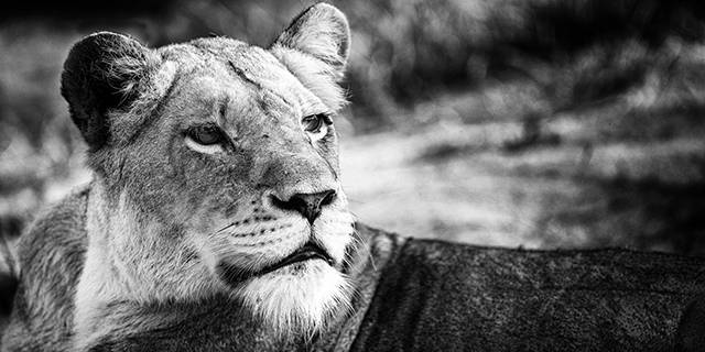 Lioness Surveys the Plains - How Long | Luxury African Safari Vacations | Classic Africa