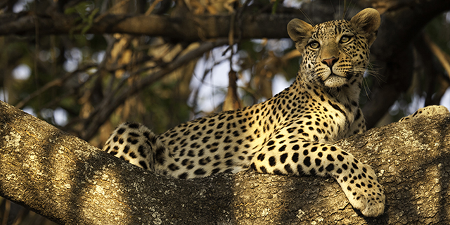 Leopard Conceals Himself in the Trees - Where | Luxury African Safari Vacations | Classic Africa
