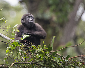 Luxury Congo Safaris - Gorilla Photography at Odzala