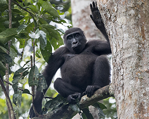 Gorilla Photography in the Congo - Luxury Odzala Safaris