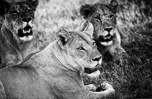 Luxury African Safaris - Lion Prides in Southern Africa