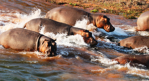 Luxury Changa Safaris - Hippos on the Shore of Lake Kariba