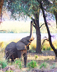 Luxury Zambia Safaris - Elephants at Anabezi Tented Camp