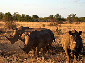 Luxury Zimbabwe Safaris - Rhinos at Singita Pamushana Camp