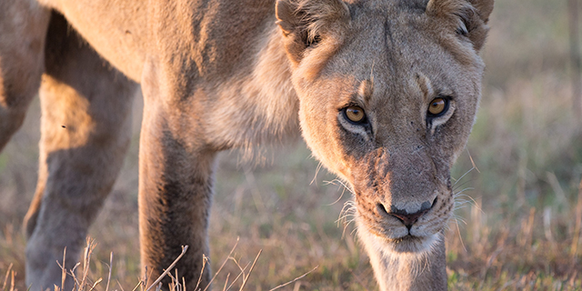 Luxury  Safari South Africa, Botswana and Zambia - Lioness Prowls the Delta