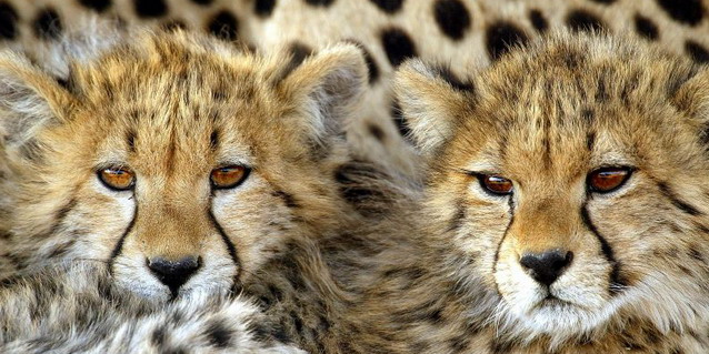 Cheetah cubs - Highlights | Southern African Safaris | Classic Africa
