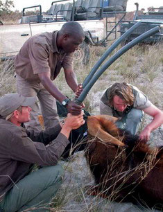 Darted sable in the Okavango Delta - | Best Luxury African Safaris | Sable Research in the Okavango Delta | Best Luxury African Safaris | Classic Africa | Classic Africa
