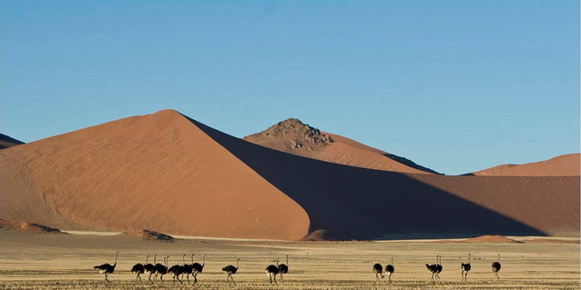Safari in Namibia - Namibia Safari Tours - Namibia Luxury Safari - Ostriches in the Namib Desert