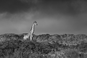 Dramatic Black and White Photography - Luxury Southern African Safaris