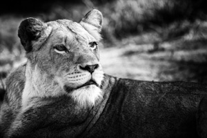 Luxury Southern African Safaris - Lion Photography in Black and White