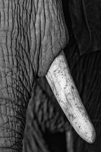 Black and White Elephant Photography - Luxury Afriacn Safaris