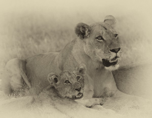 Luxury African Safaris - Sepia Lion Photography