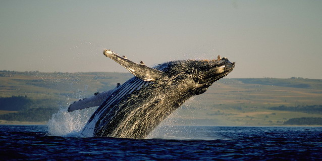Southern Right Whale - Best Time to Travel - Special Interest | Luxury African Safari Tours | Classic Africa