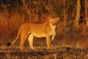 Lion Reserach at Kafue National Park - Luxury Zambia Safaris