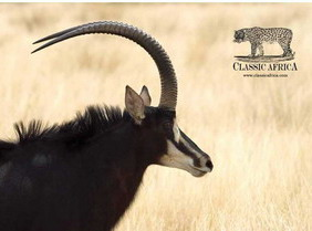 Sable Research at Vumbura Plains - Luxury Botswana Safaris